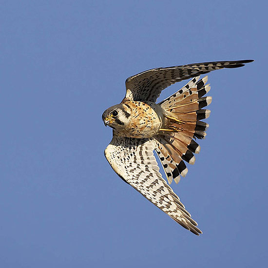 Photography. An Americal kestrel in flight, wings arced in a crescent, against a fiercely blue sky.
