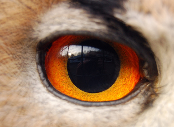 Close-up of the owl's amber eye and black pupil, framed by a black brow and buff-tan feathers.