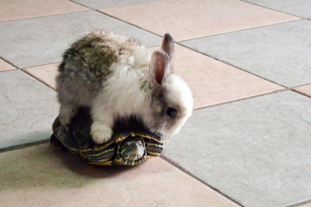Photograph. A grey-and-white baby rabbit sits astride a terrapin on a tiled floor. The bunny is looking puzzled, while the terrapin has withdrawn into its shell.