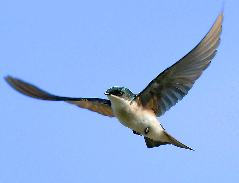 Photograph. An American swallow -- white throat and belly, iridescent blue-green head and wings -- in flight: wings outspread, little feet tucked against its belly.