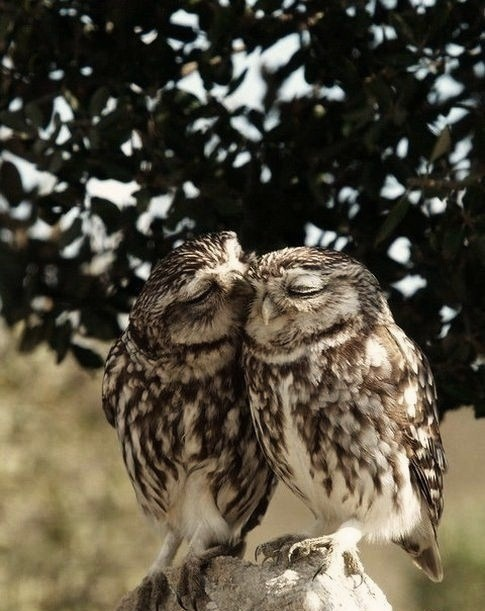 Photograph. A pair of little brown owls perch next to each other on a stump, framed by dark leaves. One owl nuzzles the face of the other. Both have their eyes closed in bliss.