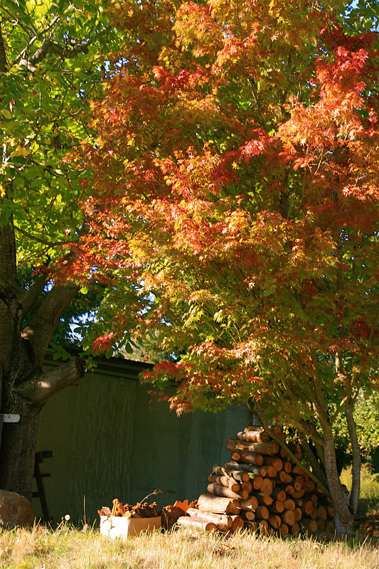 Photograph. An ornamental maple tree in a backyard. It is in full fire with the autumn season. Beneath it lies a stack of woodfire, chopped neatly into short logs, and a wooden crate of trimmings. The grass in this backyard is turning brown in readiness for winter.