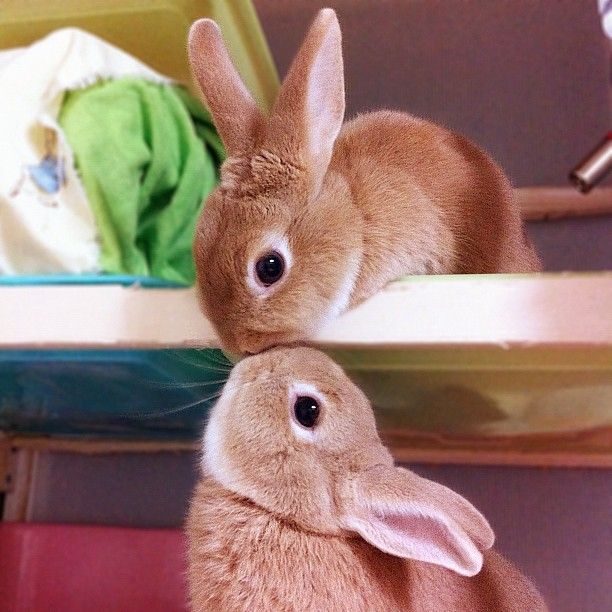 Photograph of two faun-coloured rabbits kissing each other. One sits on the floor, its head raised up; the other looks down from a platform directly above its friend. Colourful rabbit toys and blankets are strewn in the background.